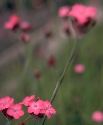 Kartuizer anjer - Dianthus carthusianorum