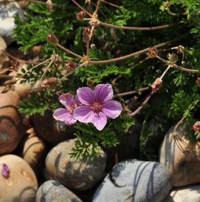 Reigersbek - Erodium foetidum 'County Park'
