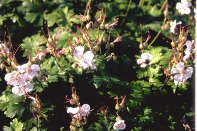 Ooievaarsbek - Geranium x cantabrigiense 'Biokovo'