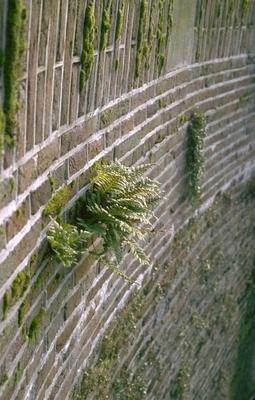 Gewone eikvaren - Polypodium vulgare