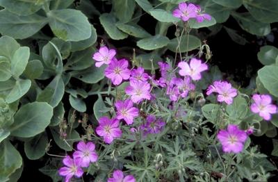 Ooievaarsbek - Geranium caffrum
