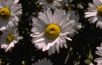 Margriet - Leucanthemum 'Polaris'