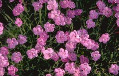 Rotsanjer - Dianthus gratianopolitanus 'Eydangeri'
