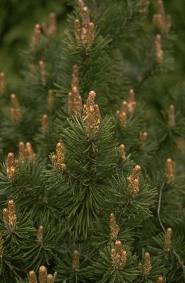 Struikden - Pinus banksiana 'Arctis'