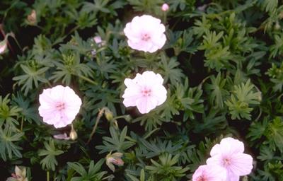 Bloedooievaarsbek - Geranium sanguineum var. striatum