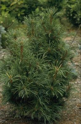 Siberische dwergden - Pinus pumila 'Chlorocarpa'