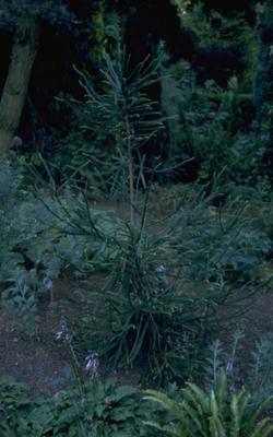 Japanse cipres - Cryptomeria japonica 'Dacrydioides'