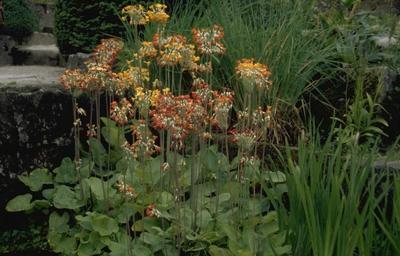 Sleutelbloem - Primula florindae 'Rubra'