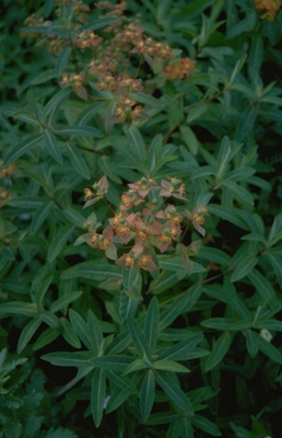 Wolfsmelk - Euphorbia griffithii 'Dixter'