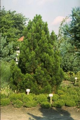 Slangenhuidden - Pinus leucodermis