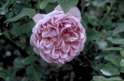 Engelse roos - Rosa 'Charles Rennie Mackintosh'