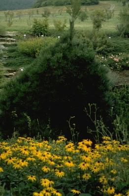 Zwarte den - Pinus nigra 'Nana'