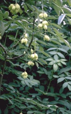 Pimpernoot Staphylea pinnata