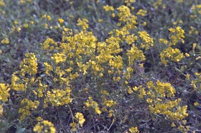 Draba sibirica