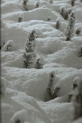 Fijnspar - Picea abies