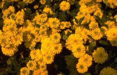 Slipbladige rudbeckia - Rudbeckia laciniata 'Goldquelle'