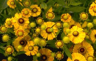Zonnekruid - Helenium 'Zimbelstern'
