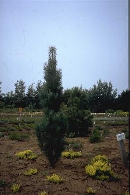 Grove den - Pinus sylvestris 'Draht'
