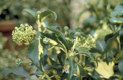 Struikklimop - Hedera helix 'Golden Wedding'
