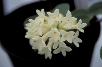 Steenroosje - Daphne blagayana