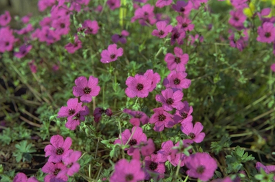 Ooievaarsbek - Geranium cinereum 'Splendens'