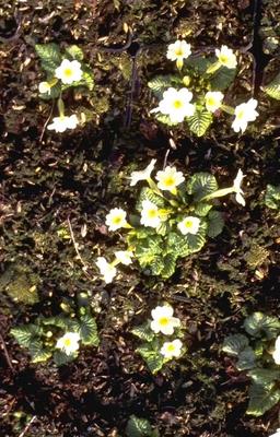 Sleutelbloem - Primula x margotae 'Helge'