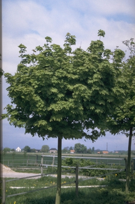 Noorse Esdoorn - Acer platanoides 'Globosum'