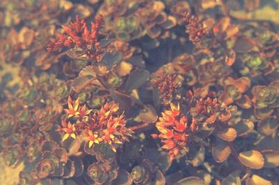 Rozevetkruid - Sedum spurium 'Purpurteppich'