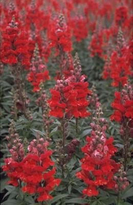 Grote leeuwenbek - Antirrhinum majus 'Coronette Crimson'