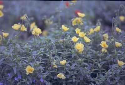 Zonneroosje - Helianthemum 'Wisley Primrose'
