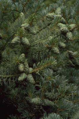 Japanse witte den - Pinus parviflora