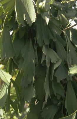 Japanse notenboom - Ginkgo biloba 'Saratoga'