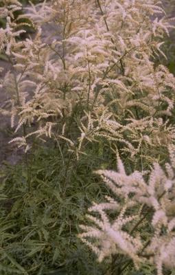 Geitenbaard - Aruncus dioicus 'Kneiffii'