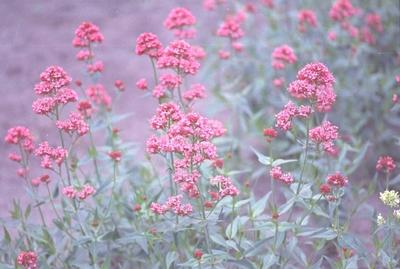 Rode spoorbloem - Centranthus ruber 'Coccineus'