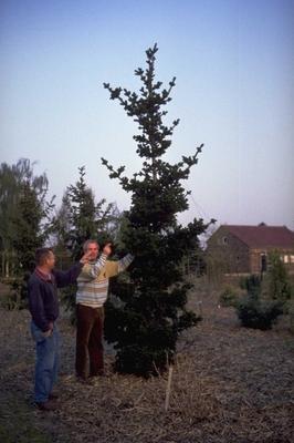 Fijnspar - Picea abies 'Lombartsii'