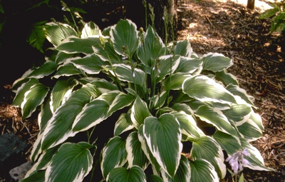 Hartlelie - Hosta 'Moerheim'