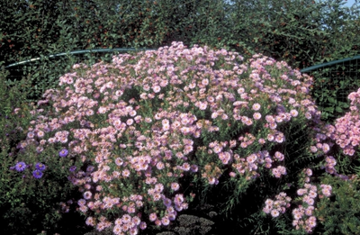 Herfstaster - Aster novae-angliae 'Harrington's Pink'