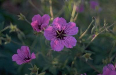Ooievaarsbek - Geranium psilostemon 'Ivan'