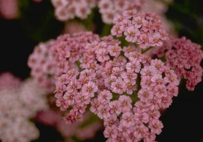 Gewoon duizendblad - Achillea millefolium 'Maskerade'