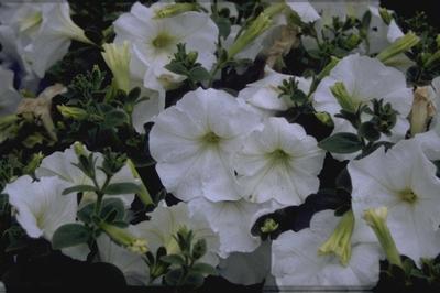 Petunia 'Polo White'