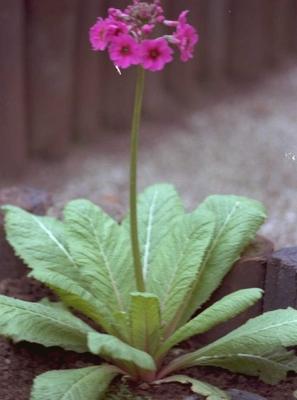 Sleutelbloem - Primula beesiana