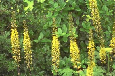 Tongkruiskruid - Ligularia przewalskii