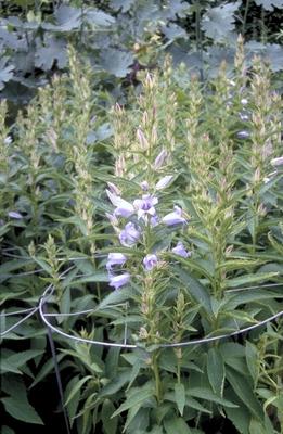 Breedbladig klokje - Campanula latifolia 'Gloaming'
