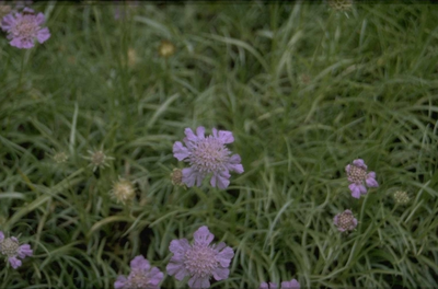 Duifkruid - Scabiosa graminifolia