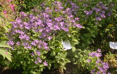 Klokje - Campanula lactiflora 'Prichard's Variety'