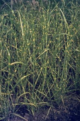 Prachtriet - Miscanthus sinensis 'Zebrinus'