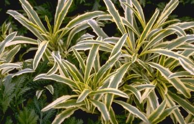 Steenraket - Erysimum linifolium 'Variegatum'
