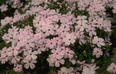 Flox - Phlox 'Lilac Cloud'