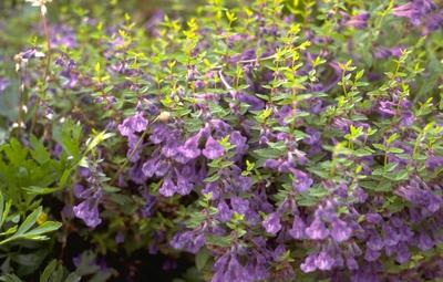 Glidkruid - Scutellaria scordiifolia