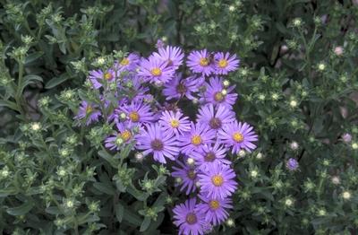 Bergaster - Amellus 'Blütendecke